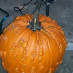 This pumpkin was so cool as it was, I couldn't bring myself to carve it.